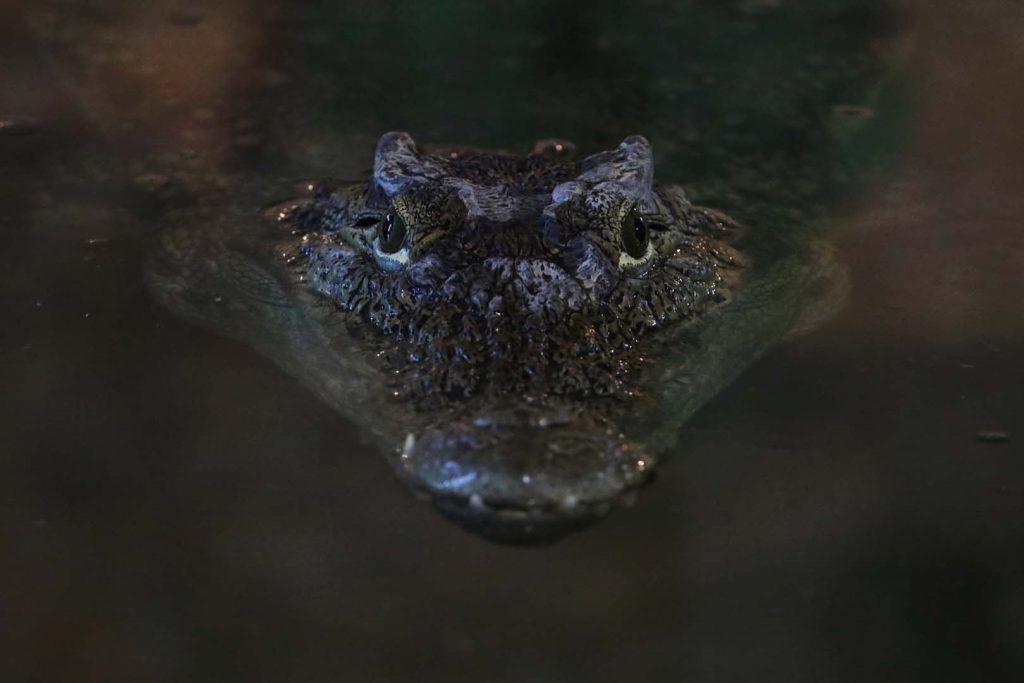 Крокодилов кайман сн. Ф. Роншолт