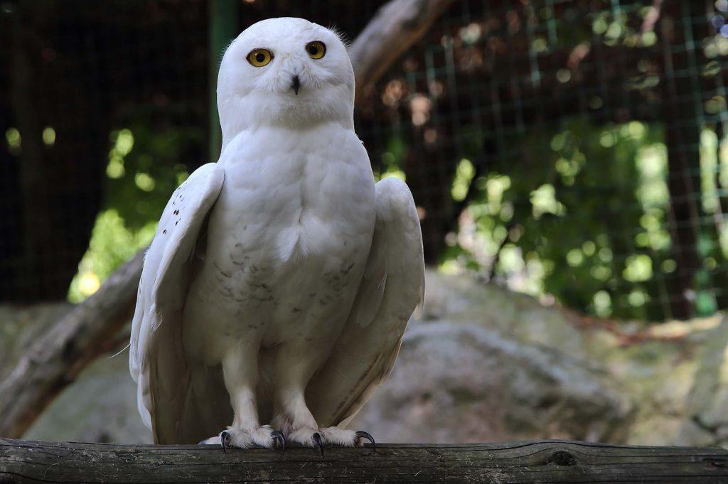 Snowy owl by M. Fens