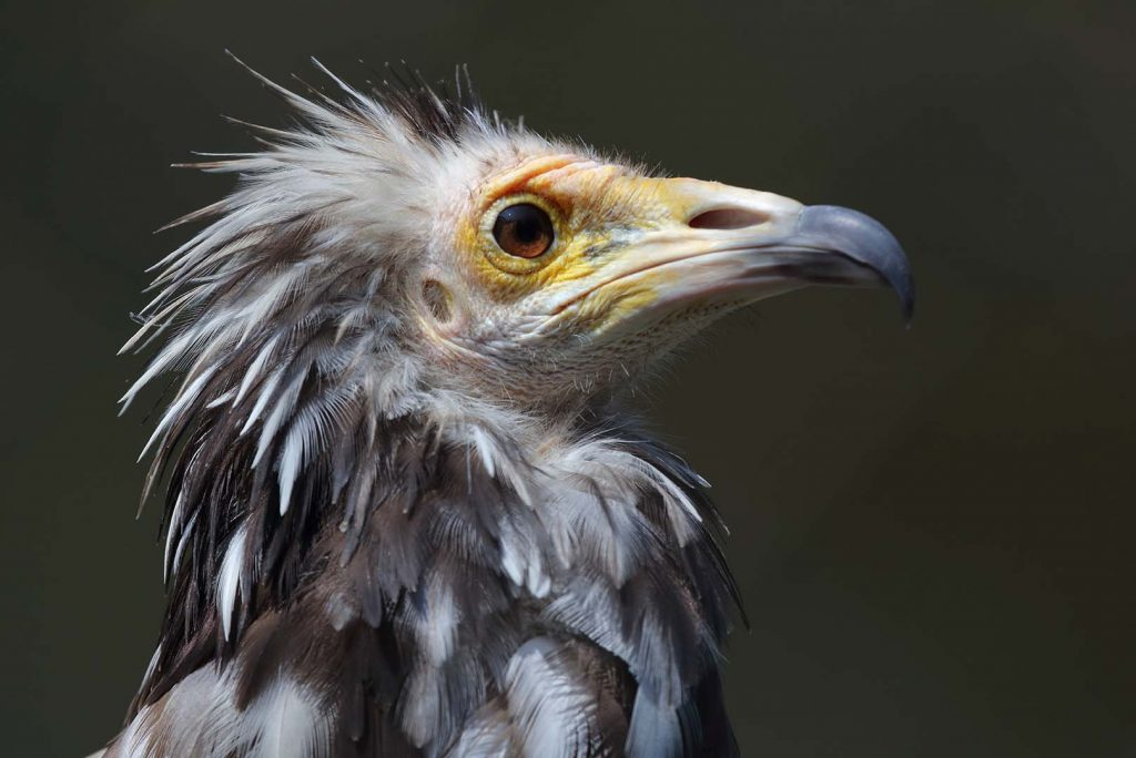 Egyptian vulture by M. Fens
