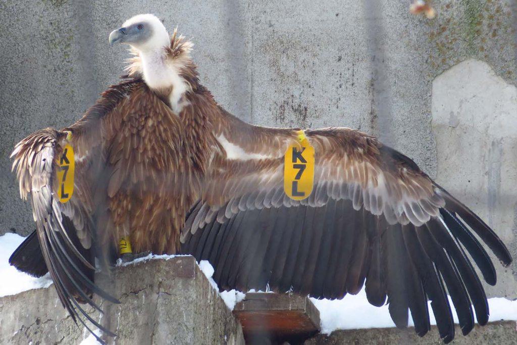 Griffon vulture by K. Zareva