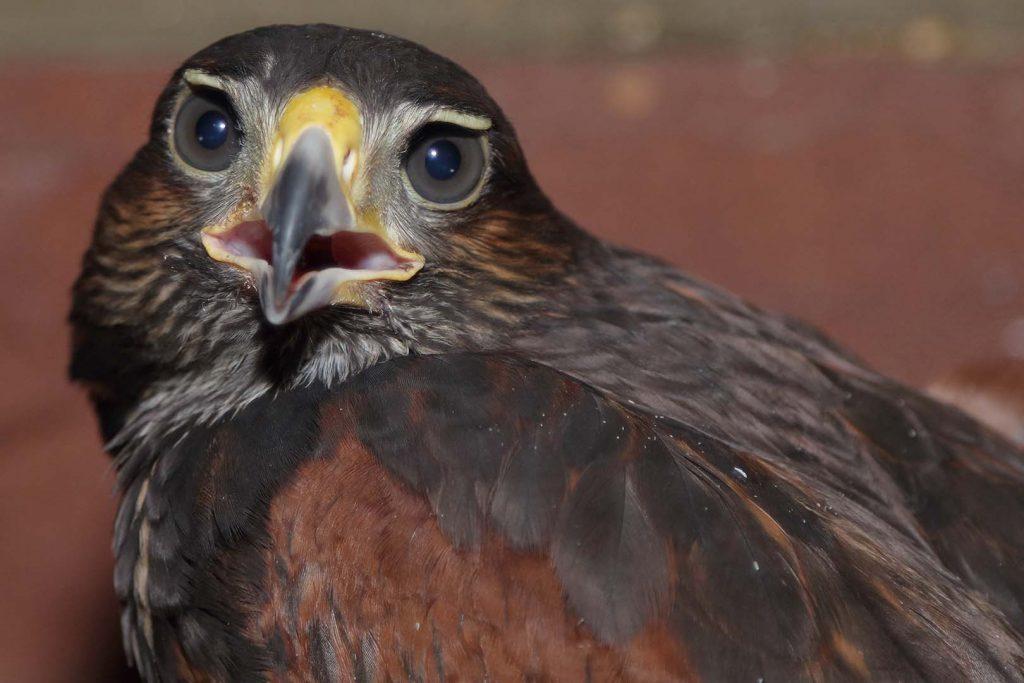Harris's hawk by M. Fens