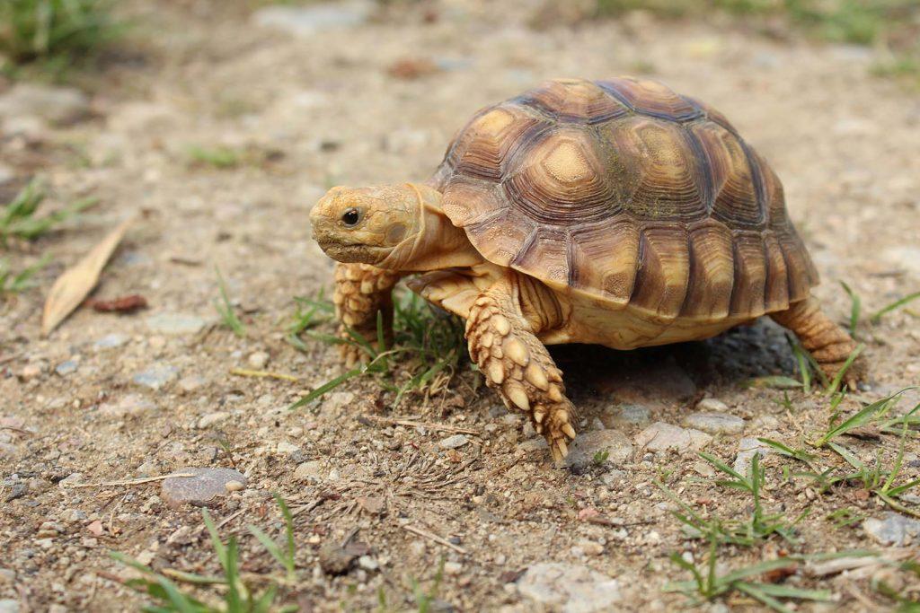 Африканска шпореста костенурка сн. К. Зарева