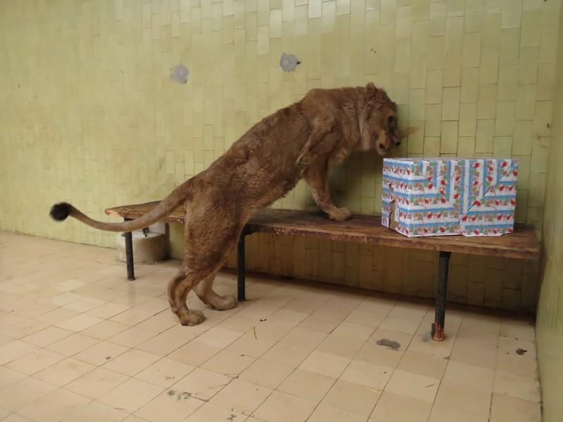 Лъвът Асен от Разград се възстановява успешно